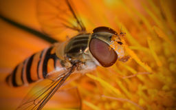 Marmalade Hoverfly (Episyrphus balteatus). Close-up of a marmalade hoverfly gathering pollen. It even has some on its huge eyes Royalty Free Stock Image