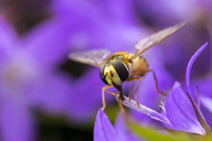 Marmalade hoverfly Episyrphus balteatus Royalty Free Stock Photo