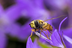 Marmalade hoverfly Episyrphus balteatus Stock Photos