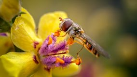 Marmalade Hoverfly, Episyrphus balteatus on Verbascum. THis is the well known Marmalade Hoverfly feeding on thew pollen of a Verbaccum in out rear garden. This royalty free stock images