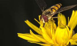 Marmalade Hoverfly on Flower Royalty Free Stock Photos