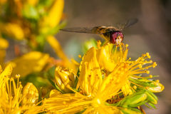 Marmalade hoverfly frontal portrait stock images