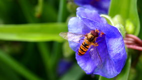 Marmalade hoverfly Royalty Free Stock Photos