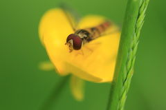 Marmalade hoverfly Royalty Free Stock Image