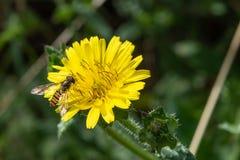 Marmelad Hoverfly, Episyrphus balteatus arkivfoto