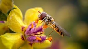 Marmelad Hoverfly, Episyrphus balteatus på Verbascum royaltyfria bilder