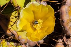 Marmelade on flowering prickly pear, Portuga Stock Photos
