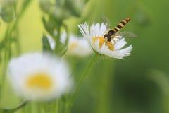 Marmelade hoverfly Lizenzfreie Stockfotos
