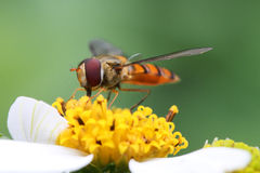 Marmelade hoverfly Stockfotografie