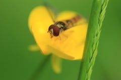Marmellata d'arance hoverfly Immagine Stock Libera da Diritti