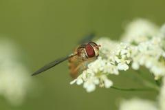 Marmellata d'arance hoverfly Fotografia Stock Libera da Diritti