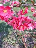 Marmelo japon?s das flores vermelhas imagem de stock royalty free