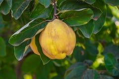 Marmelo maduro amarelo Fotos de Stock Royalty Free