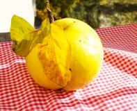 Marmelo maduro amarelo grande do fruto Imagem de Stock Royalty Free