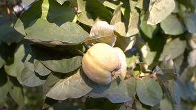 Marmelo na árvore filme