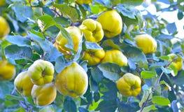 Marmelo no outono Fotografia de Stock
