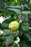 Marmelos que amadurecem na árvore imagens de stock royalty free