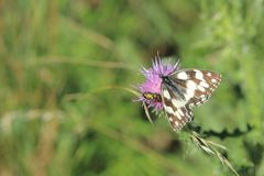 Marmer Witte Vlinder Stock Afbeelding