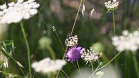 Marmer Witte vlinder op een Scabiosa-atropurpurea wilde bloem stock footage