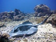 Marmeren pijlstaartrog Royalty-vrije Stock Afbeeldingen