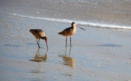 Marmergrutto, & x28; Limosa fedoa& x29; Crystal Cove State Park Beach stock fotografie