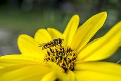 Marmolada zapyla kwiatu Obraz Stock