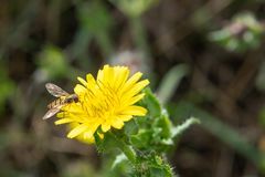 Marmoladowy Hoverfly, Episyrphus balteatus Fotografia Royalty Free