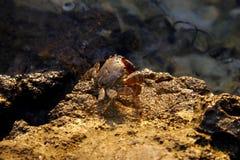 Marmoratus di Pachygrapsus o granchio di roccia marmorizzato Fotografia Stock Libera da Diritti