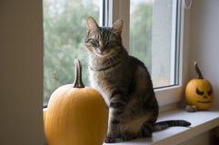 Marmorera kattsittinen på fönster med halloween pumpor Arkivfoto