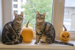 Marmorera kattsittinen på fönster med halloween pumpor Royaltyfria Bilder