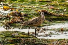 Marmorerad Godwit på den Kalifornien eelgrassen, Laguna Beach, Kalifornien Royaltyfria Foton