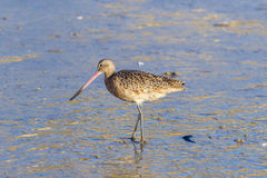 Marmorerad Godwit på kusten på Laguna Beach, Kalifornien Arkivfoto