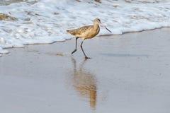 Marmorerad Godwit som kör onshore från vågen i Laguna Beach, Kalifornien Fotografering för Bildbyråer