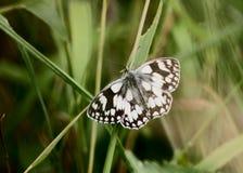 Marmorerad vit fjäril på bladet Arkivbilder