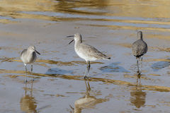 Marmorerade Godwits som står på strand, en som gäspar Royaltyfria Foton