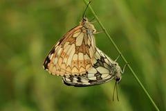Marmorerade vita fjärilar som parar ihop kopplingen Arkivfoton