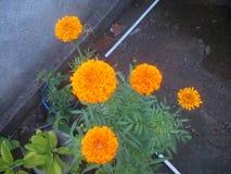 Marmorerar evergreen Royaltyfria Bilder