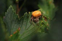Marmoreus Araneus Στοκ εικόνες με δικαίωμα ελεύθερης χρήσης