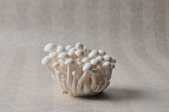 Marmoreus. The Mushrooms isolated on a  wallpaper background Stock Image