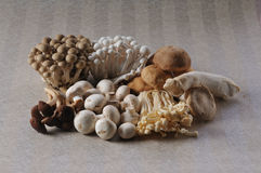 Marmoreus. The Mushrooms isolated on a  wallpaper background Royalty Free Stock Photo