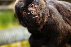marmoset πίθηκος Στοκ φωτογραφία με δικαίωμα ελεύθερης χρήσης