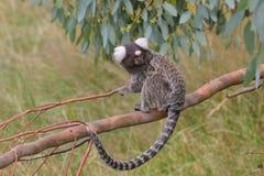 marmoset ветви Стоковое фото RF
