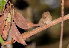 Marmoset пигмея на ветви Стоковое фото RF