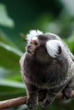 Marmoset Stock Photos