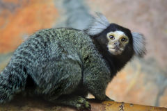 Marmoset. Photo of mamoset (Callithrix jacchus Stock Photos