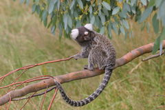 Marmoset on branch. Common Marmoset sitting on a branch royalty free stock photo