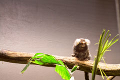 Marmoset On A Branch Royalty Free Stock Images