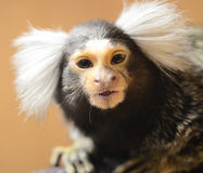 A Marmoset in Cage Stock Image