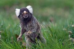 Marmoset (Callithrix Jacchus). White Eared Marmoset in long green grass Royalty Free Stock Image