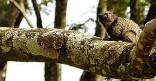 Marmoset .Callithrix penicillata. The black-tufted marmoset Callithrix penicillata, also known as Mico-estrela in Portuguese, is a species of New World monkey Stock Image